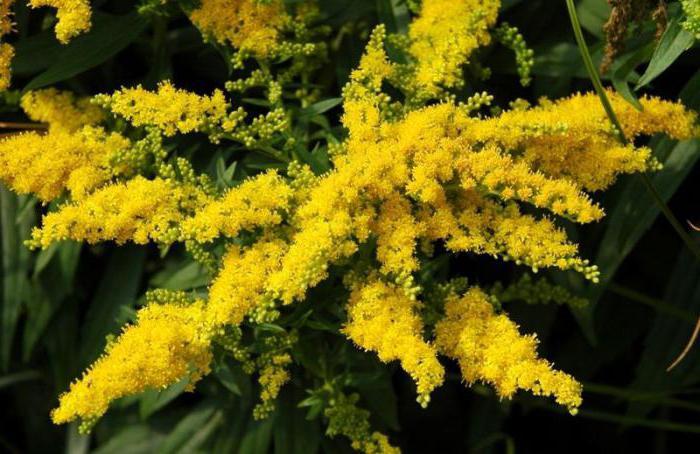 proprietà medicinali e controindicazioni delle verghe dorate