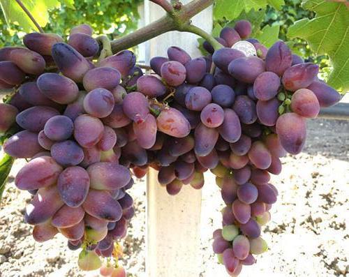 lepota grozdja
