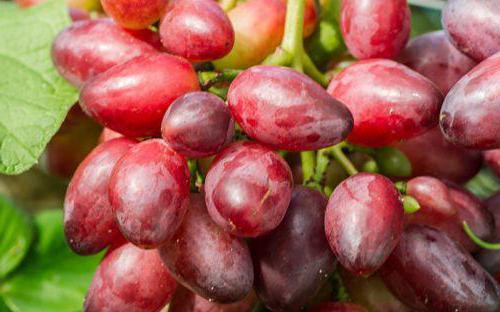 opis sorte lepote grozdja