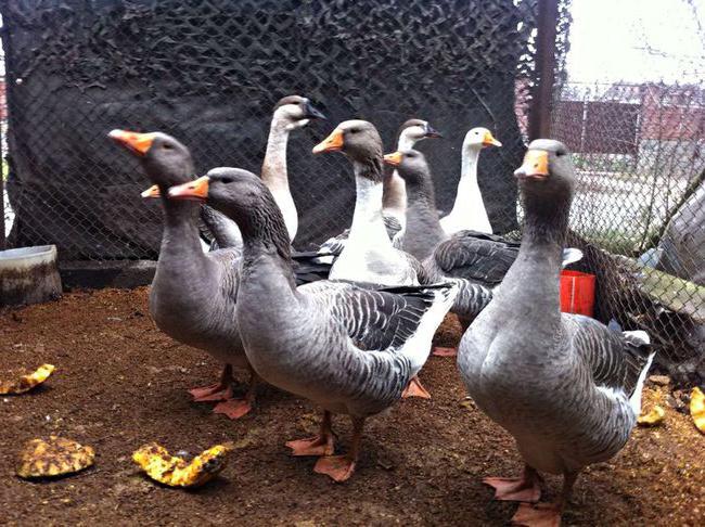 Големи сиви гъски