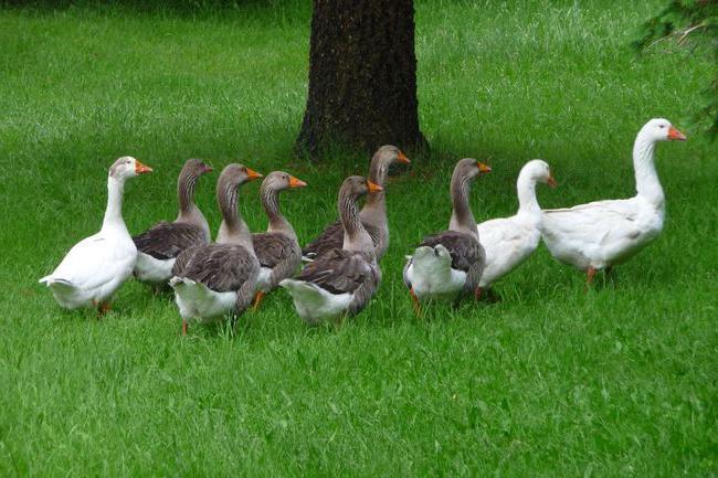 Породата гъски е голяма сива
