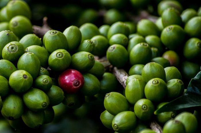 хапчета за зелено кафе