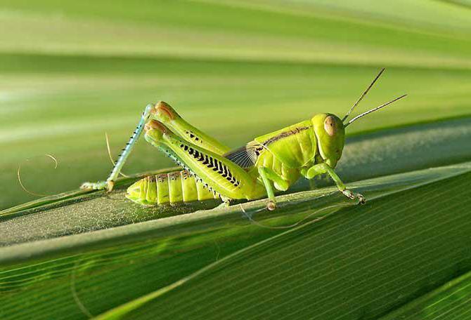 zielony owad pasikonik