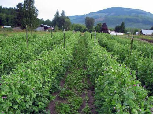 Zeleni gnoj za vrt