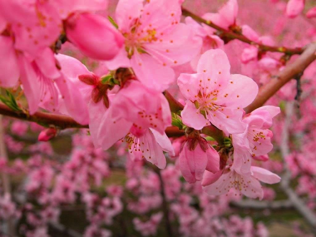 Cvjetovi breskve
