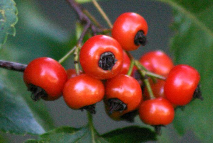 frutta di biancospino