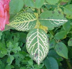bolest ruža i njihovo liječenje