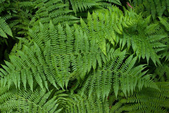 piante di spore più alte