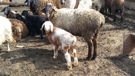 Породи на хисарските овце и овце