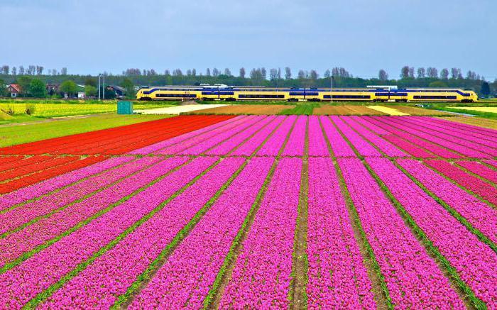 zemlja tulipana