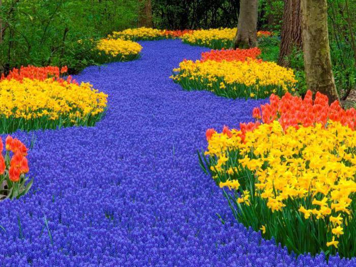 tulipani koji simbol zemlje
