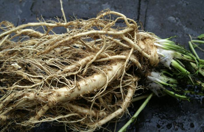 корен користи и штете од хрена