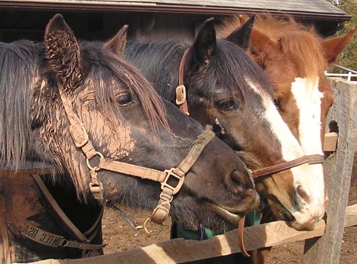 konji Rusije