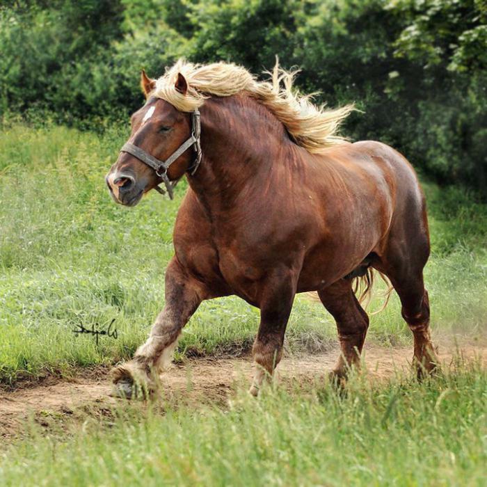 Ruski teški konji