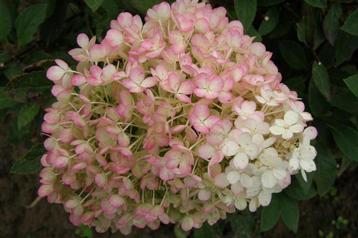 descrizione di hydrangea bobo