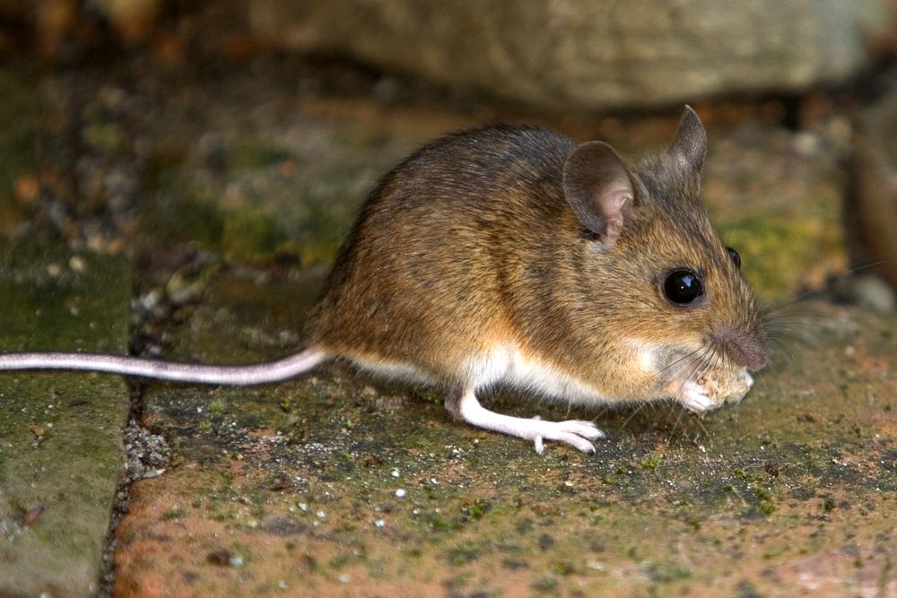 Domača miška