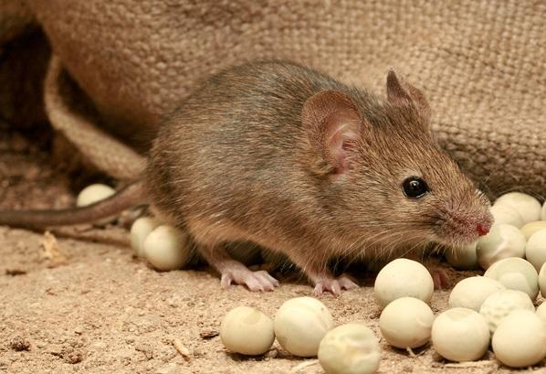 Hišna miška v skladišču