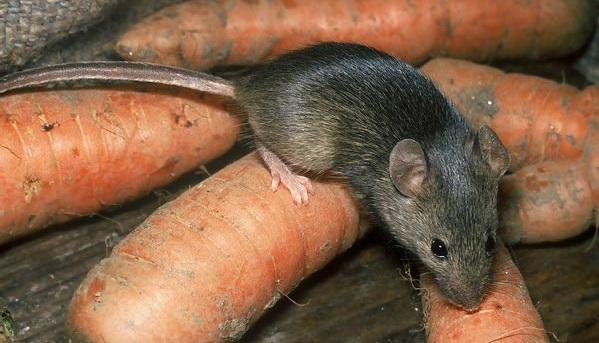 Hišna miška