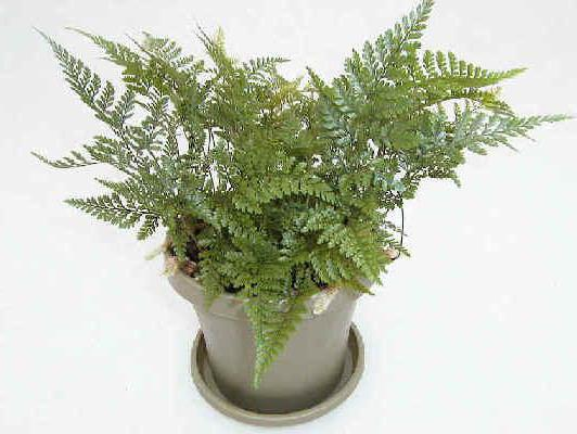 стайни растения с името на буквата d