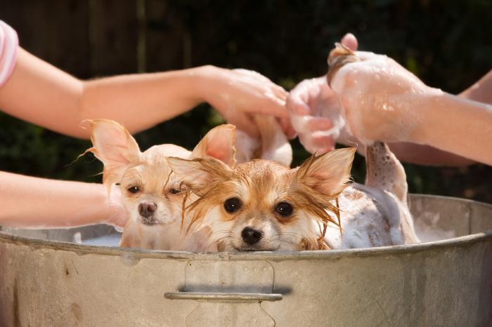 Rimedio alle pulci per cani
