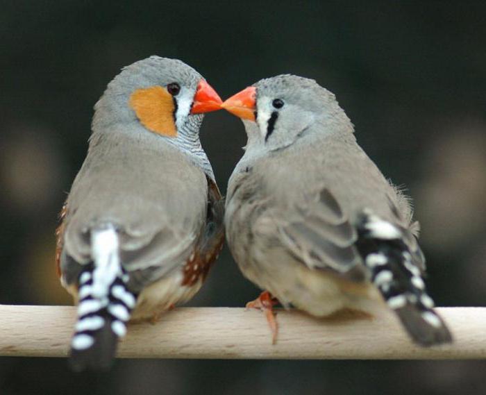 како се птице паре