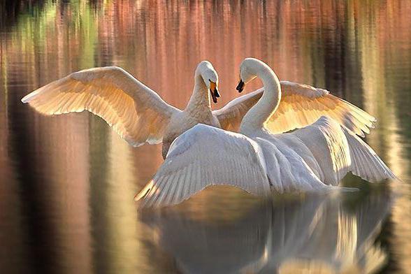 како се птице међусобно размножавају