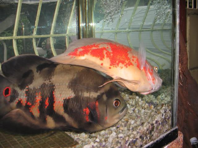 I pesci dormono nell'acquario