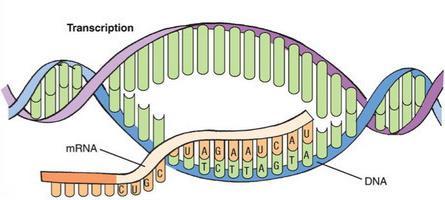 fasi della biosintesi delle proteine