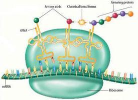 biosintesi delle proteine nella cellula