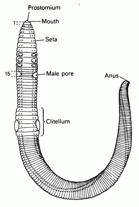 zewnętrzna struktura dżdżownicy