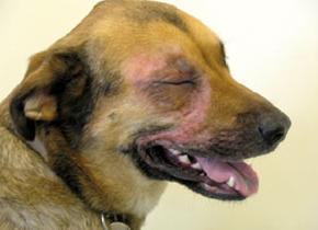 Objawy alergiczne u psów