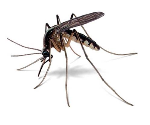колико комараца живи након угриза