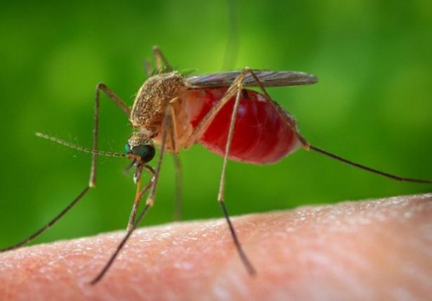 колико дана живи комарац