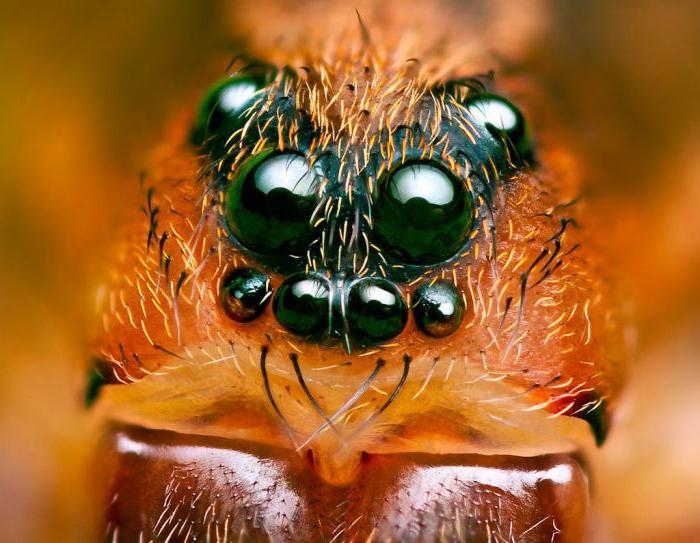 quanti occhi ha un ragno