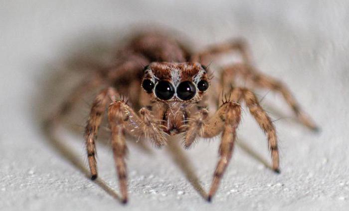 Quanta voce c'è nella maggior parte delle specie di ragni