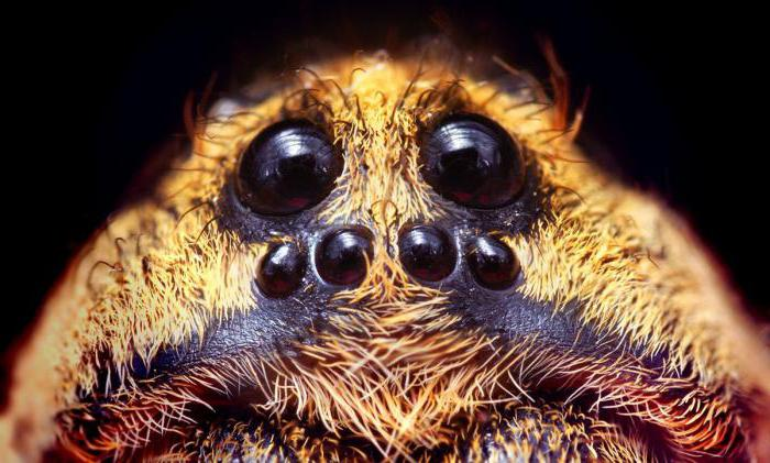 Quanti occhi ha un ragno?