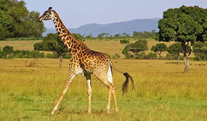 kolik žlučových žiraf má