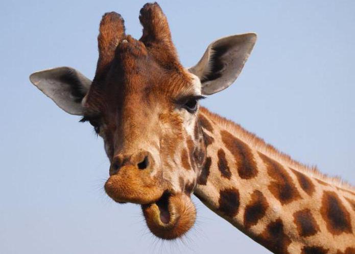 kolik obratlů je v krční žirafě