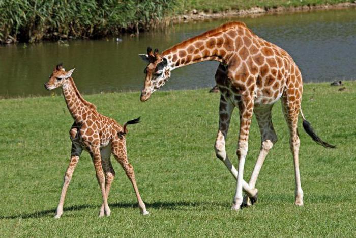 kolik krčních obratlů v žirafině páteři