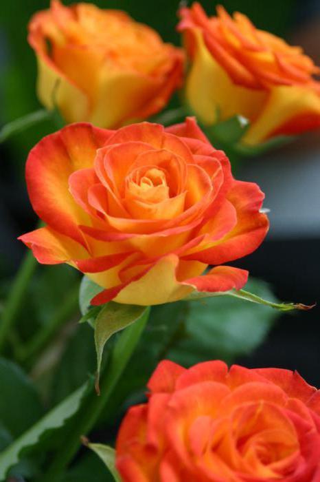 букет ружа за девојку