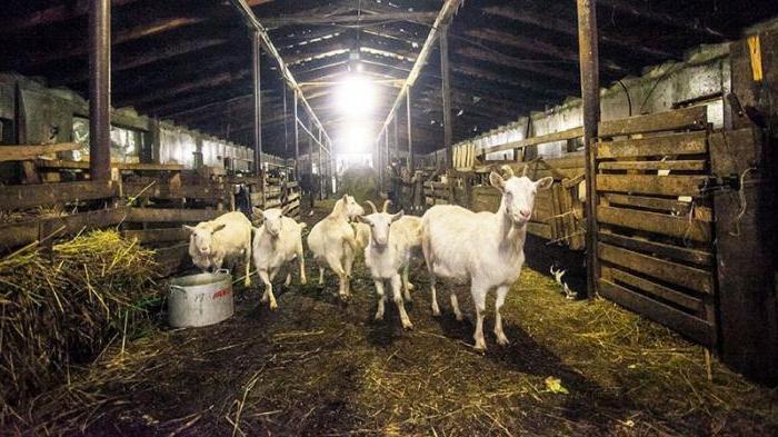 колико млека чини заанен козу дневно