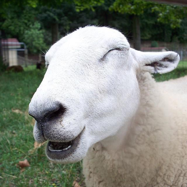 колико дана коза даје млеко