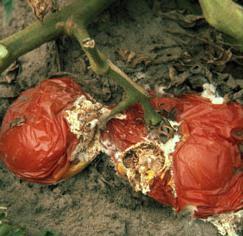 apikalna rotacija obrade rajčica