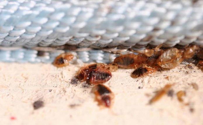 disinfezione della cimice