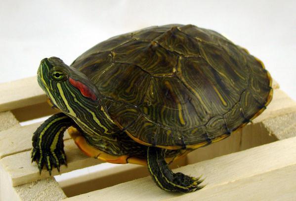 come determinare l'età della tartaruga dalle orecchie rosse