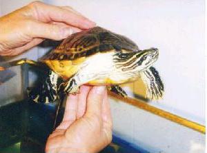 come scoprire l'età della tartaruga dalle orecchie rosse