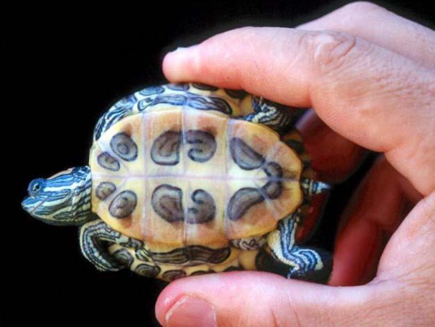 come determinare il sesso di una tartaruga dalle orecchie rosse