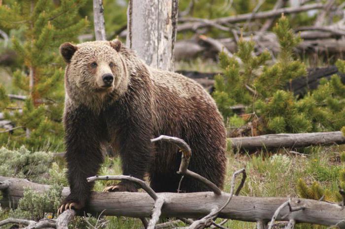 ślad niedźwiedzia
