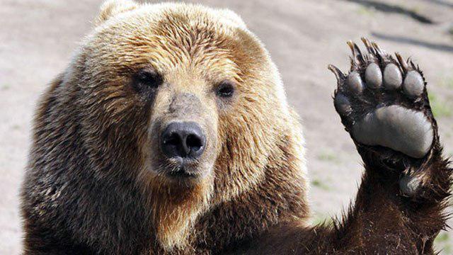 ślady niedźwiedzia brunatnego