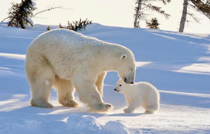 ślady niedźwiedzia na śniegu